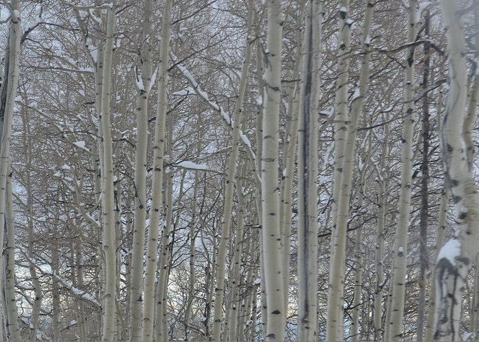 Scenery Greeting Card featuring the photograph Winter Aspens by Dorothea Hanson
