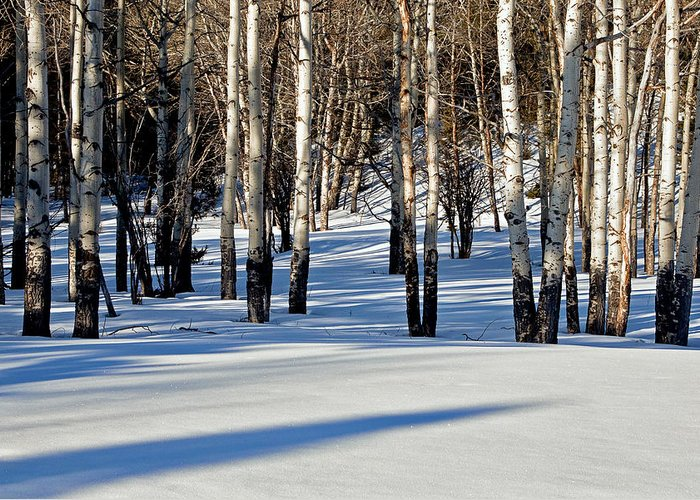 Aspen Trees Greeting Card featuring the photograph Winter Aspens by Jack Bell