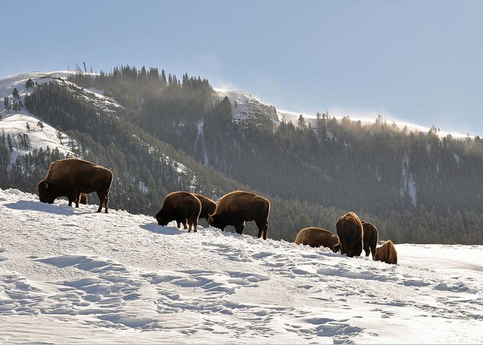 Bison Greeting Card featuring the photograph Winter Bison Herd In Yellowstone by Bruce Gourley