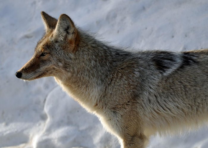 Coyote Greeting Card featuring the photograph Winter Coyote In Yellowstone by Bruce Gourley