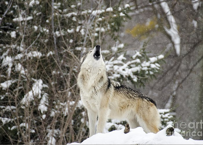 Wolves Greeting Card featuring the photograph Winter Howl by Paul Danaher