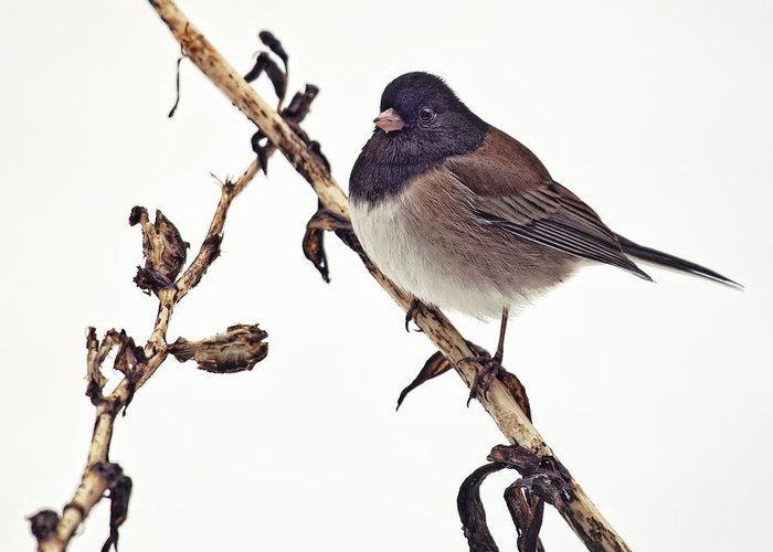 Wildlife Greeting Card featuring the photograph Winter Junco by Summer Kozisek