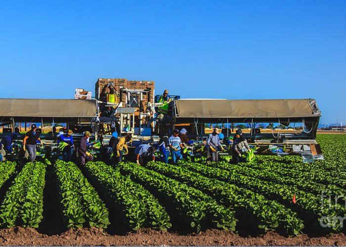 Winter Lettuce Greeting Card featuring the photograph Winter Lettuce Harvest by Robert Bales