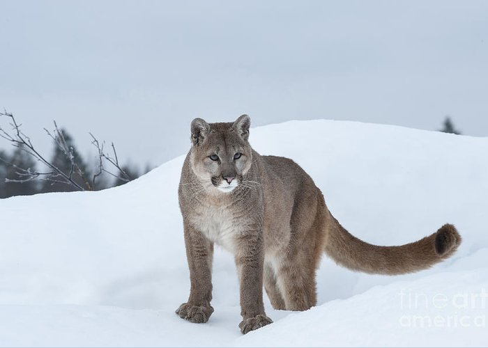 Wildlife Greeting Card featuring the photograph Winter Mountain Lion by Sandra Bronstein