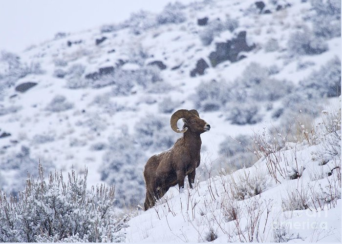 Bighorn Greeting Card featuring the photograph Winter Ram by Mike Dawson
