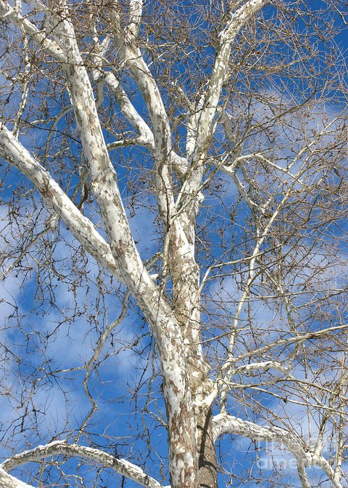 Winter Greeting Card featuring the photograph Winter Sycamore by Ann Horn