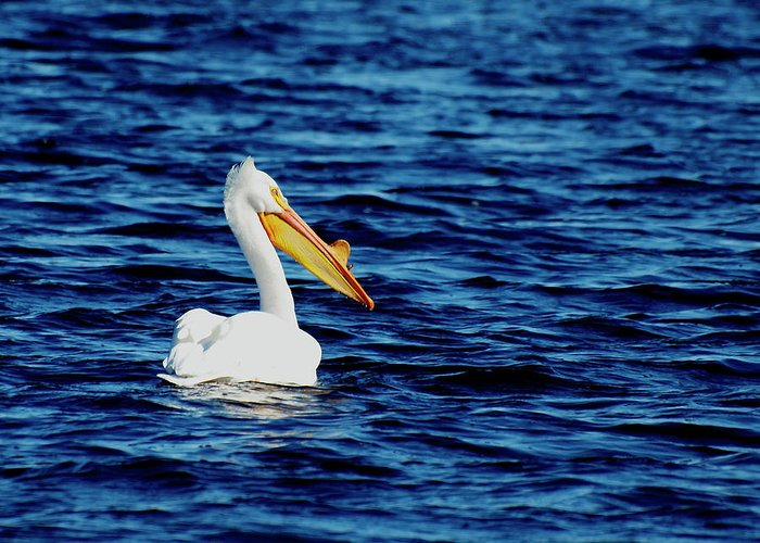 American White Pelican Greeting Card featuring the photograph Wisconsin Pelican by Thomas Young
