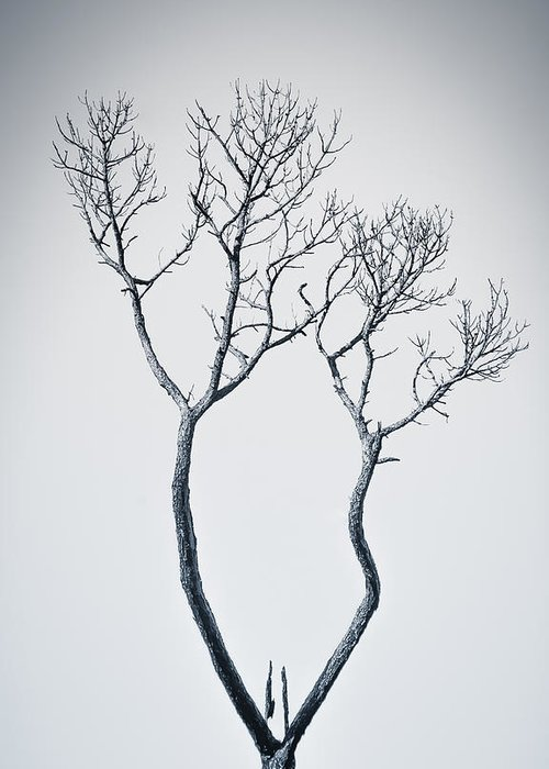 Tree Greeting Card featuring the photograph Wishbone Tree by Carolyn Marshall