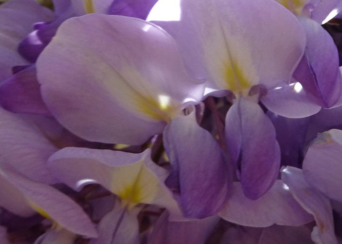 Purple Greeting Card featuring the photograph Wisteria Duo by Claudia Goodell