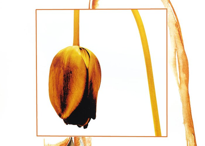 Tulips Greeting Card featuring the photograph Withered Tulip Flower. Vintage-look by Bernard Jaubert