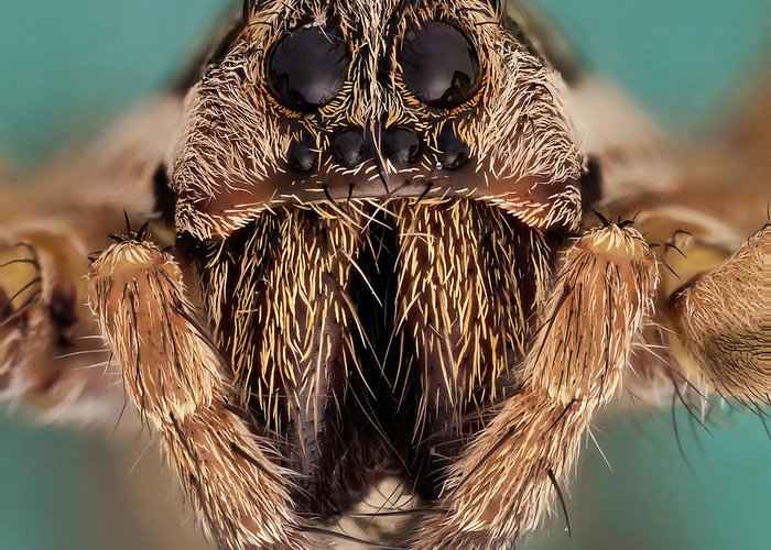 Focus Stacking Greeting Card featuring the photograph Wolf Spider 5x by Javier Torrent - Vwpics