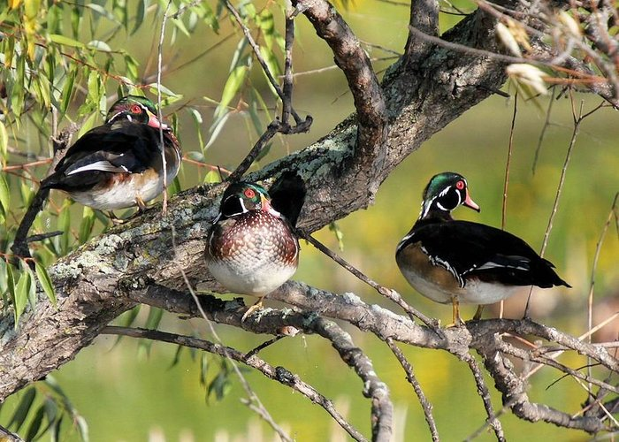 Wood Duck Greeting Card featuring the photograph Wood Duck Drakes In Tree by John Dart