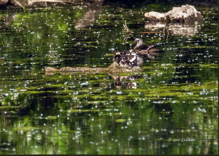 Spring Greeting Card featuring the photograph Wood Duck Family by Edward Peterson