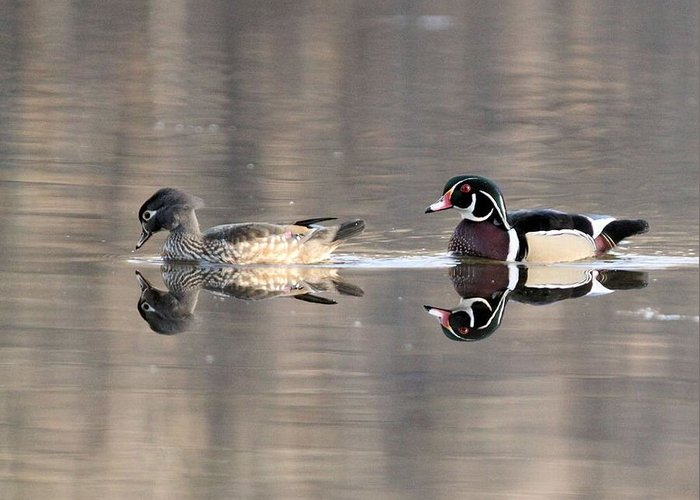 Wood Duck Greeting Card featuring the photograph Wood Duck Pair Kettles by John Dart