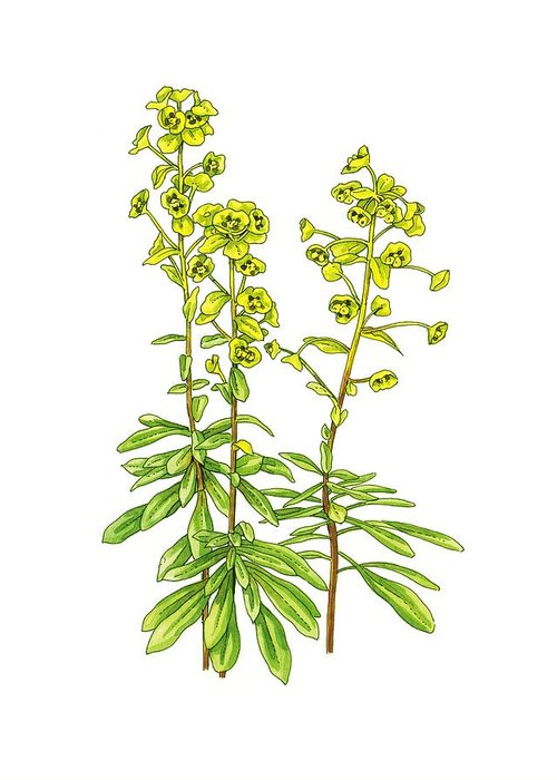 Cutout Greeting Card featuring the photograph Wood Spurge (euphorbia Amygdaloides) by Science Photo Library
