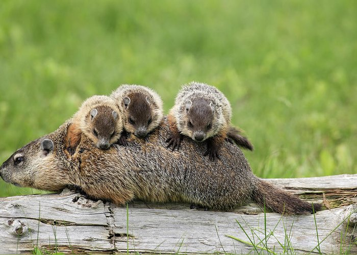 Flpa Greeting Card featuring the photograph Woodchuck Carrying Young by Jurgen and Christine Sohns