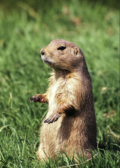 Groundhog Greeting Card featuring the photograph Woodchuck by Tony Craddock/science Photo Library