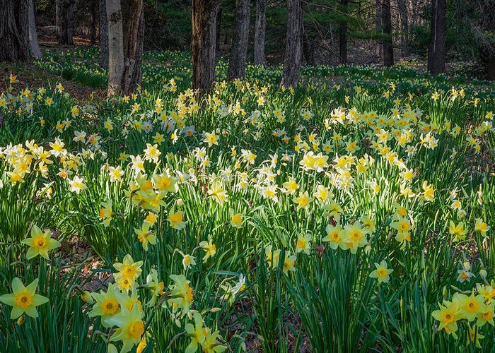 Daffodil Greeting Card featuring the photograph Woodland Daffodils by Bill Wakeley