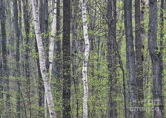 Spring Greeting Card featuring the photograph Woodland Spring by Alan L Graham