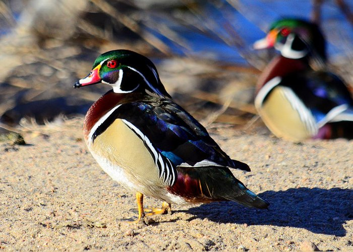 Wood Ducks Greeting Card featuring the photograph Woody Brothers by Joe Wicks
