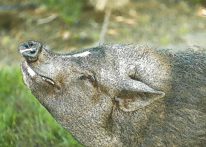 Pig Greeting Card featuring the photograph Woody Smiles by Artist and Photographer Laura Wrede