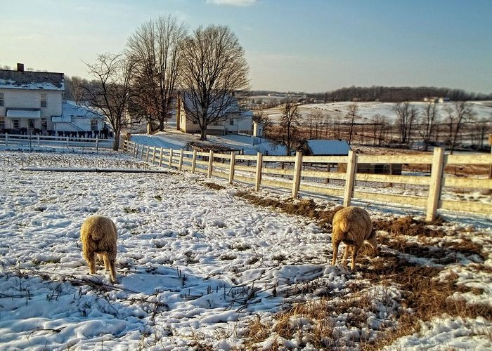 Sheep Greeting Card featuring the photograph Woolly Butts by Lindsey Naumann