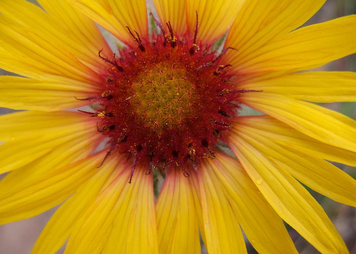Sunflower Greeting Card featuring the photograph Wyoming Sunflower by Kent Becker