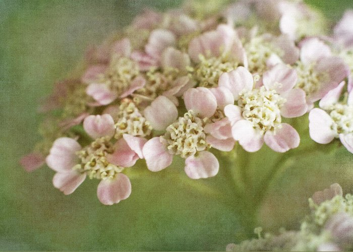 Bloom Greeting Card featuring the photograph Yarrow by David and Carol Kelly