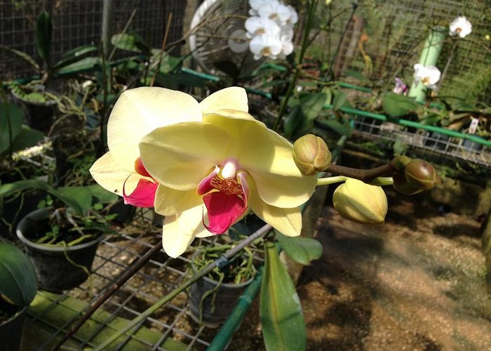 Yellow Greeting Card featuring the photograph Yellow And Red Orchid by Ron Torborg