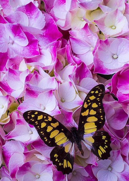 Yellow Black Greeting Card featuring the photograph Yellow Black Butterfly On Hydrangea by Garry Gay
