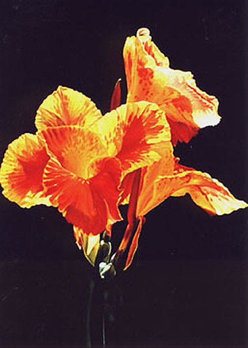 Floral Greeting Card featuring the painting Yellow Canna by Gary Hernandez