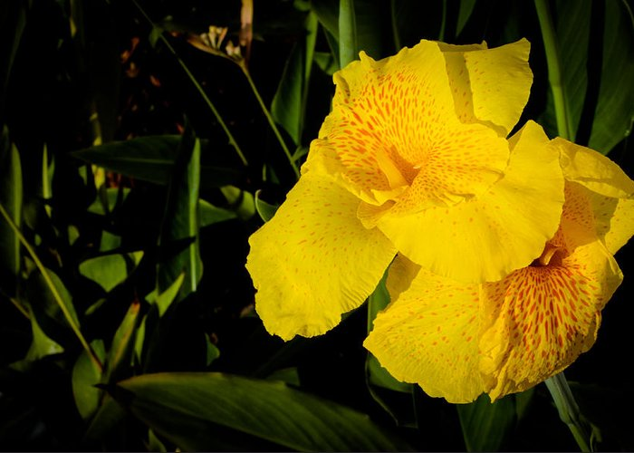 Yellow Canna Greeting Card featuring the photograph Yellow Canna Singapore Flower by Donald Chen