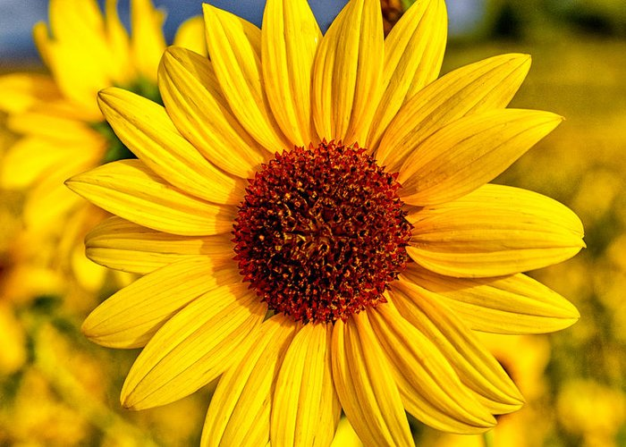 Flowers Macro Sunflower Yellow Nature Scenic California eastern Sierra Greeting Card featuring the photograph Yellow by Cat Connor