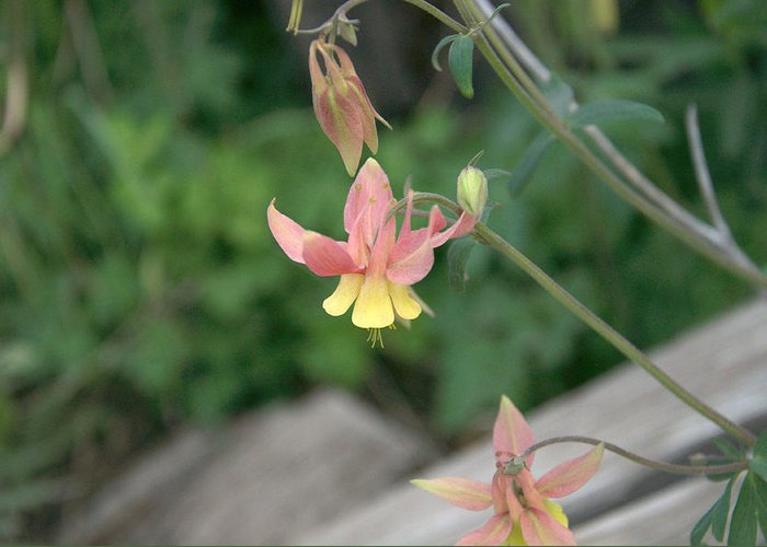 Yellow Greeting Card featuring the photograph Yellow Columbine 2 by Frank Madia