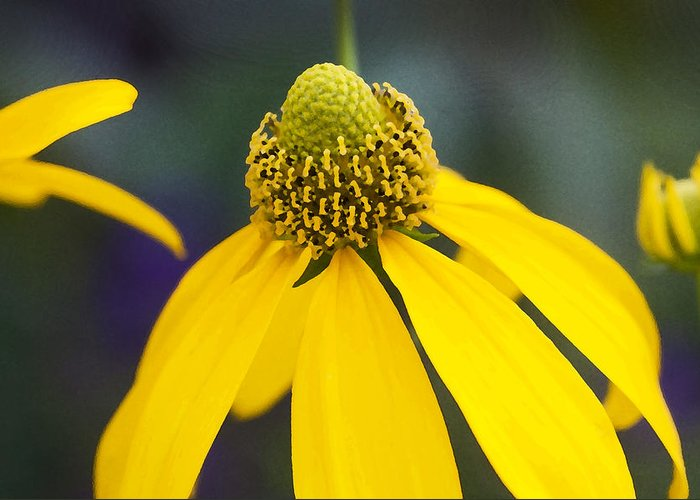 Ratibida Pinnata Greeting Card featuring the photograph Yellow Cone Flower Rudbeckia by Rich Franco