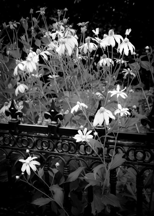 Echinacea Greeting Card featuring the photograph Yellow Coneflowers Echinacea Wrought Iron Gate Bw by Rich Franco