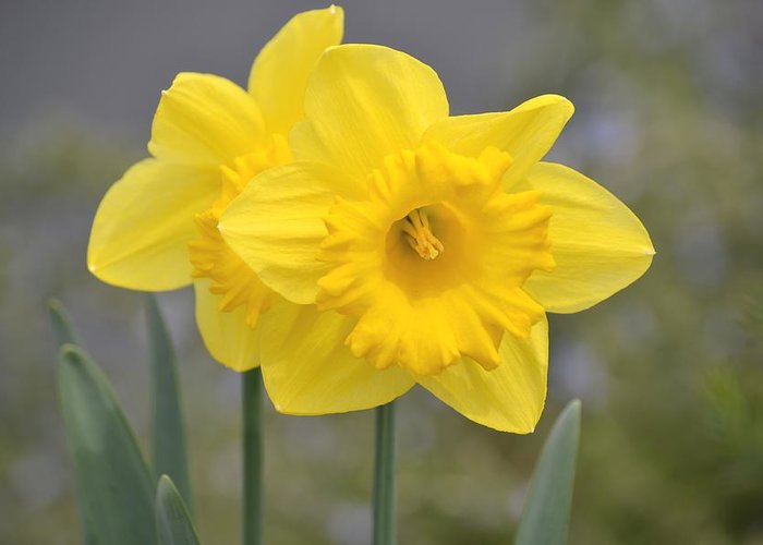 Yellow Greeting Card featuring the photograph Yellow Daffodils by P S