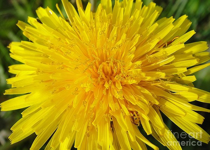 Dandelion Greeting Card featuring the photograph Yellow Dandelion With A Little Heart by Karin Ravasio