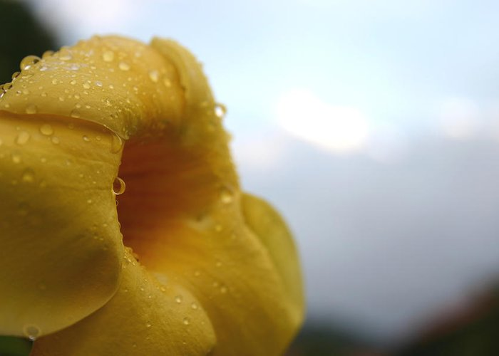 Flower Greeting Card featuring the photograph Yellow Droplets 2 by Frederico Borges