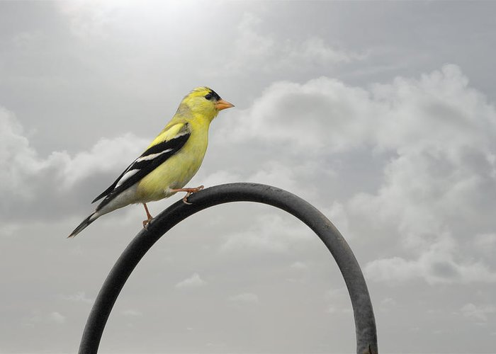 Yellow Finch Greeting Card featuring the photograph Yellow Finch A Bright Spot Of Color by Christine Till