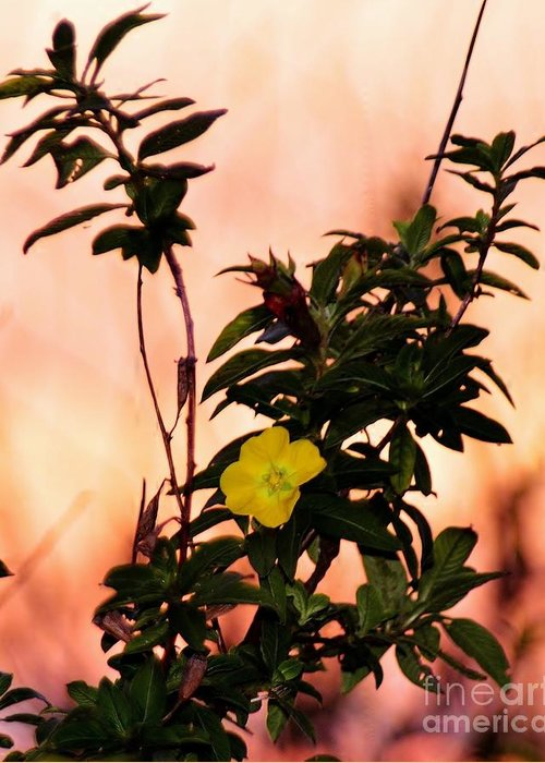 Yellow Flower Greeting Card featuring the photograph Yellow Flower Sunset by Dane Stensen
