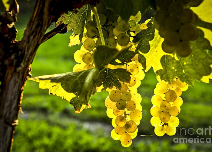 Green Greeting Card featuring the photograph Yellow Grapes In Sunshine by Elena Elisseeva