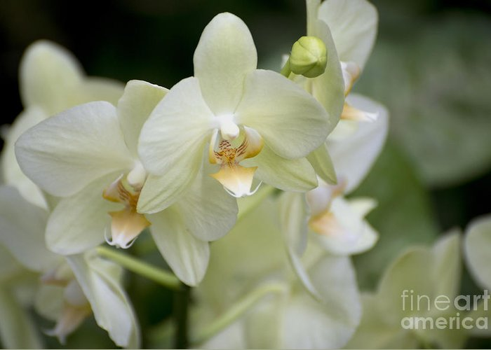 Yellow-green Moth Orchid Greeting Card featuring the photograph Yellow-green Phalaenopsis 8837 by Terri Winkler