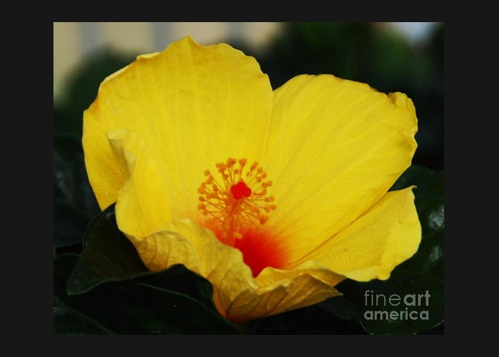 Floral Art Yellow Hibiscus Sunlit Petals Red Heart Yellow Seed Greenery Nature Bermuda Flora Macro Outdoors Home Decor Vibrant Sub Tropical Plant Wood Print Metal Frame Canvas Print Poster Print Available On Greeting Cards Anniversary Cards Birthday Cards Mugs T Shirts Shower Curtains Tote Bags Throw Pillows Phone Cases Pouches Spiral Notebooks Beach Towels And Weekender Tote Bags. Greeting Card featuring the photograph Yellow Hibiscus by Marcus Dagan