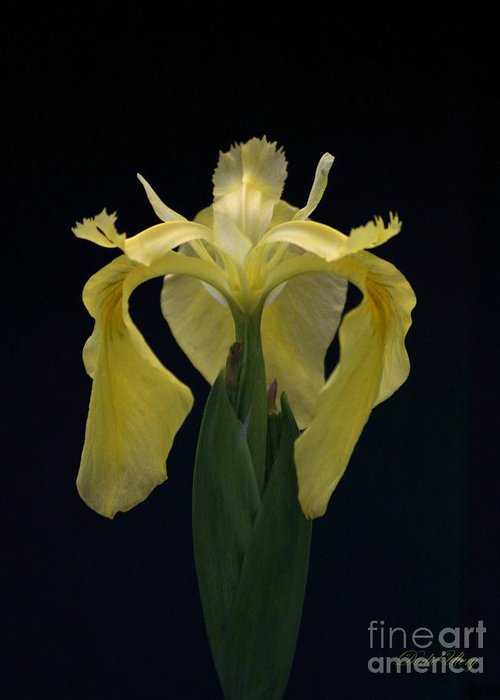 Nature Greeting Card featuring the photograph Yellow Iris by Dodie Ulery