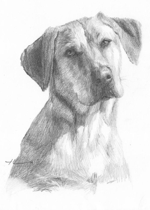 Www.miketheuer.com Yellow Lab Dog Pencil Portrait Greeting Card featuring the drawing Yellow Lab Dog Pencil Portrait by Mike Theuer