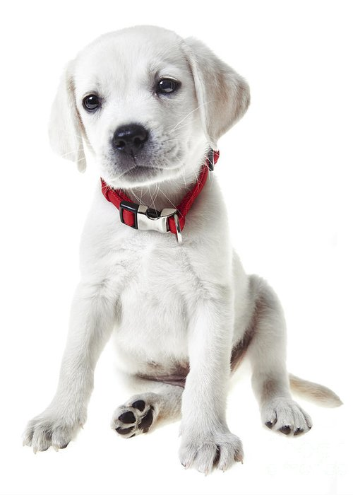Puppy Greeting Card featuring the photograph Yellow Lab Puppy by Diane Diederich