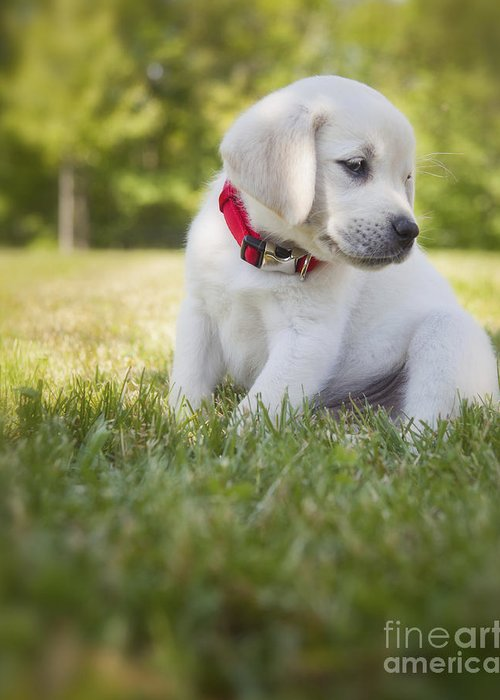 Yellow Lab Greeting Card featuring the photograph Yellow Lab Puppy In The Grass by Diane Diederich