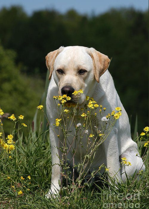 Yellow Greeting Card featuring the photograph Yellow Labrador Retriever Dog Smelling Yellow Flowers by Dog Photos