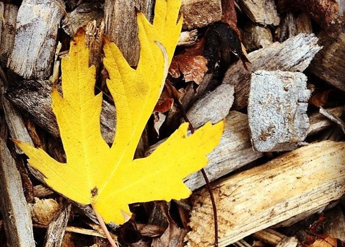 Leaf Greeting Card featuring the photograph Yellow Leaf by Christy Beckwith
